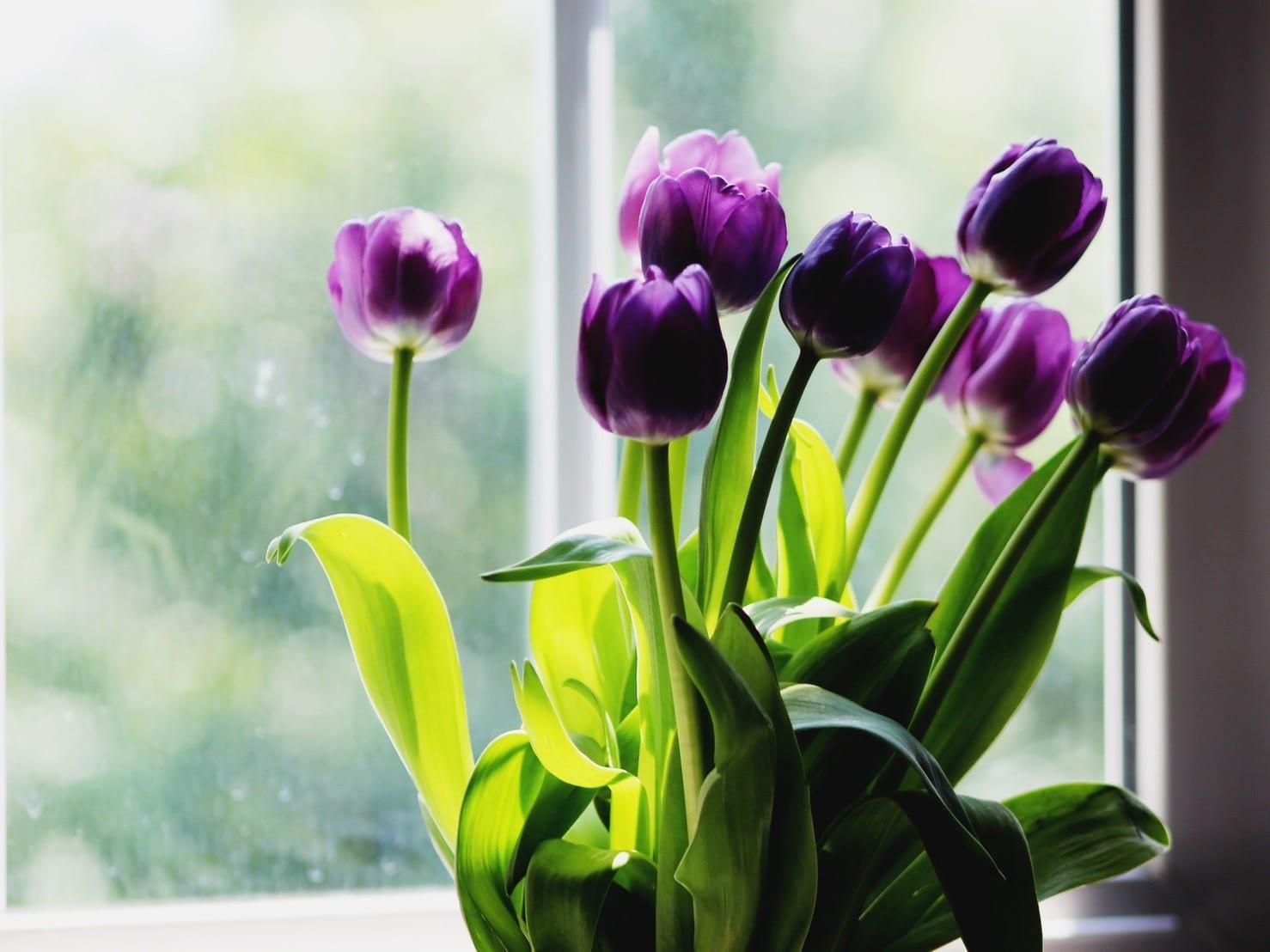 母親節的花-紫色鬱金香
