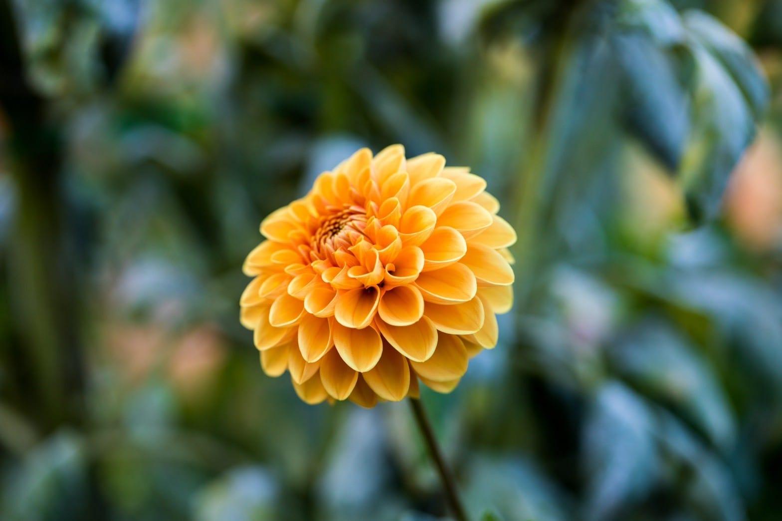 母親節的花-菊花