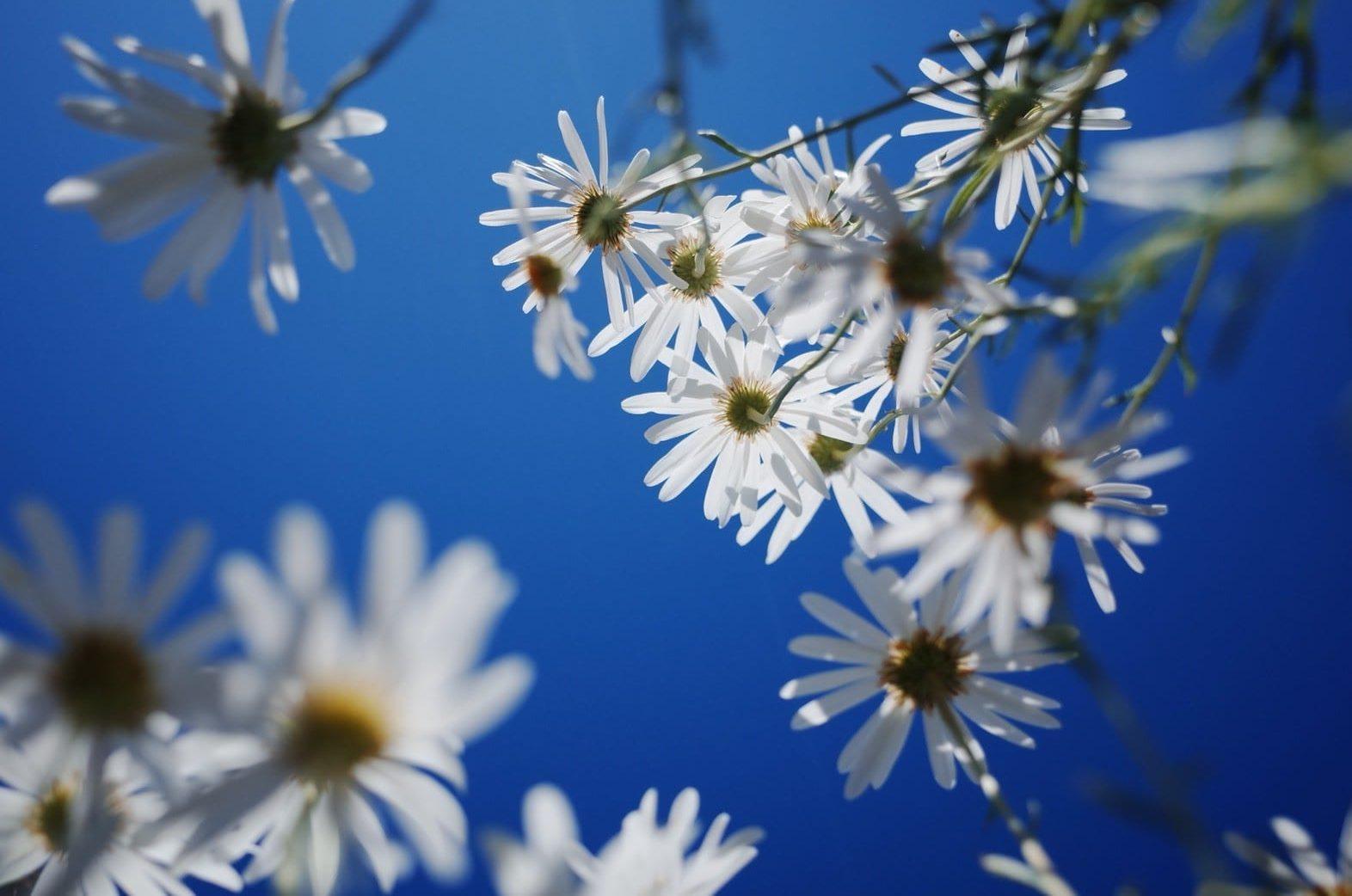母親節的花-雛菊
