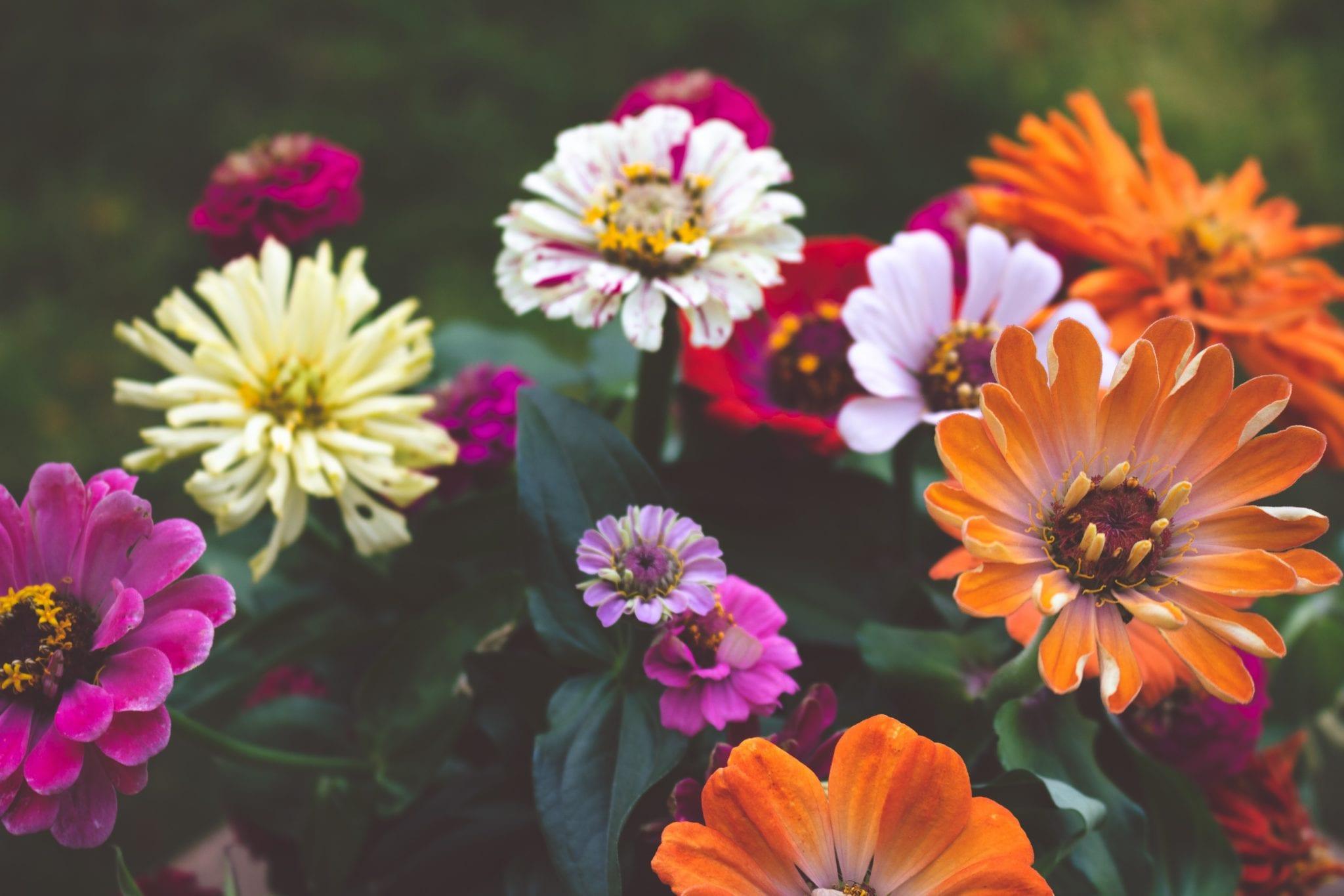 母親節的花-波斯菊